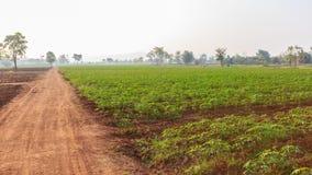 Plantage, Manioka Stockfotografie