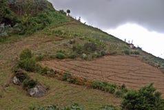Plantage Panamas Cofee stockfotos