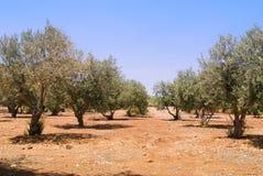 Plantage verde oliva Immagini Stock Libere da Diritti