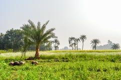 Plantage von Dattelpalmen auf einem landwirtschaftlichen Gebiet stockbilder