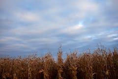 Plantage von den getrockneten Maisanlagen bereit zu ernten Stockbilder