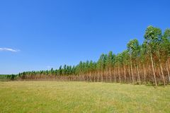 Plantage von Eukalyptusbäumen für Papier oder Holz- und Forstwirtschaft, Uruguay, Südamerika stockfotografie