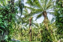Plantage von Palmen Lizenzfreies Stockfoto