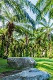 Plantage von Palmen Stockbild