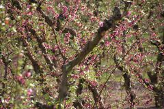 Plantage von Pfirsichbäumen stockfoto