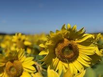 Plantage von Sonnenblumen gegen den blauen Himmel stockfotografie