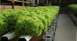 Plantagen des grünen Salats mit Wasserkulturkultur in Malaysia Stockfotos