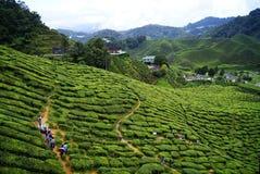 Plantagen des grünen Tees Cameron Highlands in Malaysia Lizenzfreies Stockbild