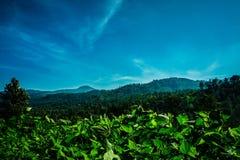 Plantagen des grünen Tees mit blauem Himmel und Berg als Hintergrund im puncak Bogor lizenzfreie stockfotografie