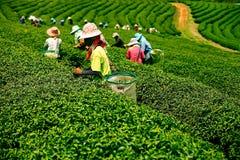 Plantagen des Tees in Mae Salong Valley Nord-Thailand stockbilder