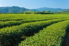 Plantagenbauernhof des grünen Tees Stockfotos