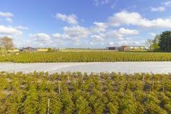 Plantagenfeld des Hanfs in den Niederlanden Lizenzfreie Stockfotografie