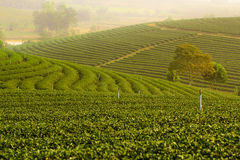 Plantagenlandschaft des grünen Tees Stockfoto
