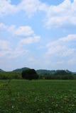 Plantagensüßkartoffel Stockbild