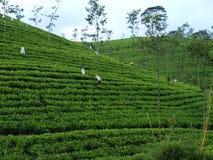 Plantages чая в Шри-Ланке Стоковое Изображение
