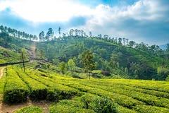 Plantages del té en Munnar foto de archivo