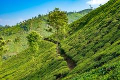 Plantages del té en Munnar, Kerala, la India foto de archivo libre de regalías