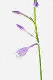 Plantaginea pourpre de Hosta Photo libre de droits