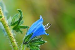 plantagineum λουλουδιών echium Στοκ Φωτογραφίες