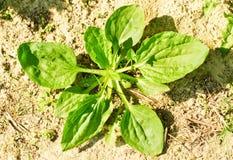 Plantago lanceolata stockfotos