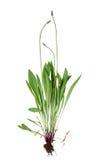 Plantago lanceolata Fotografia Stock