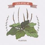 Plantago major aka broadleaf plantain or fleawort color sketch. Plantago major aka broadleaf plantain or fleawort colo sketch. Green apothecary series. Great for Royalty Free Stock Image