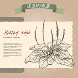 Plantago major aka broadleaf plantain or fleawort sketch. Green apothecary series. Great for traditional medicine, gardening or cooking design Stock Image