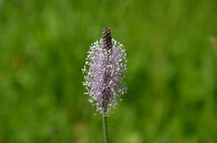Plantago media Royalty Free Stock Photo