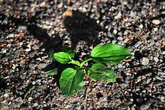 Plantago w ziemi od wierzchołka Fotografia Stock