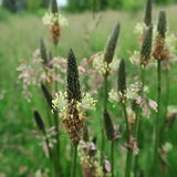 Plantagolanceolata Fotografering för Bildbyråer