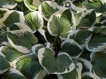 Plantain κρίνοι στοκ εικόνα με δικαίωμα ελεύθερης χρήσης