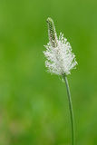 Plantain Royalty Free Stock Photography