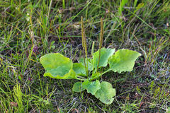 plantain Στοκ φωτογραφίες με δικαίωμα ελεύθερης χρήσης
