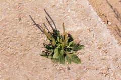 plantain Imagem de Stock Royalty Free