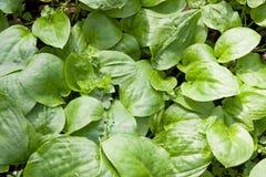 Plantain. A group of plantain closeup Stock Image