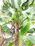 The plantain banana pure Royalty Free Stock Photo
