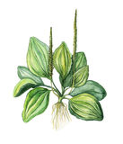 Plantain d'aquarelle, illustration Images stock