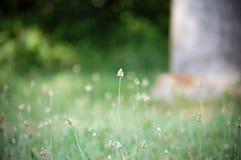 Plantain de Buckhorn Photo libre de droits