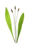Plantain de Ribwort (lanceolata de Plantago) Photos stock