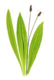 Plantain de Ribwort (lanceolata do Plantago) Fotografia de Stock Royalty Free