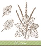 Plantain in Hand Drawn Style. Vector Illustration of Medicinal Plant Stock Images