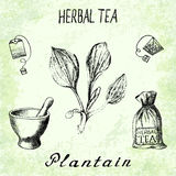 Plantain herbal tea. Set of  elements on the basis hand pencil drawings. Herb Plantain, tea bag, mortar and pestle, textile bag. For labeling, packaging Stock Photography