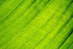 Plantain leaf background stock photo