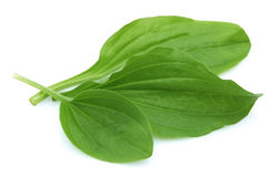 Plantain leaves Stock Photography