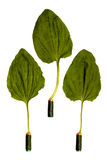 Plantain leaves on batteries Royalty Free Stock Photo