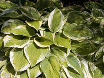 Plantain lilies