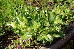 Plantain lily or Hosta foliage plant with large ribbed light green to white leaves borne in a cluster at the base of the plant