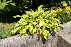 Plantain lily or Hosta foliage plant with partially dried shriveled ribbed leaves planted next to concrete sidewalk