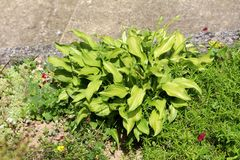 Plantain lily or Hosta foliage plant in shape of small bush with large ribbed light green leaves planted in local urban garden