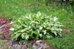 Plantain lily or Hosta foliage plant in shape of small bush with large ribbed light green to white leaves planted in local urban